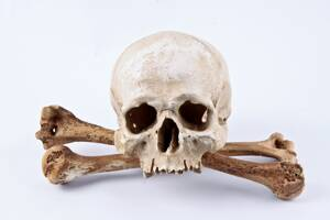 Skull Replica Regulus with Pair of Bones